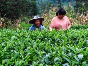 Tea plantations on the China motorcycle tour